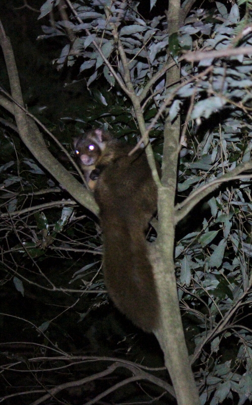 Japanese Giant Flying Squirrel