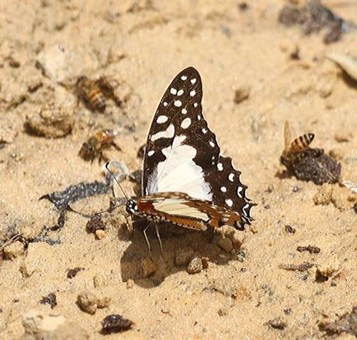 White Lady Swallowtail