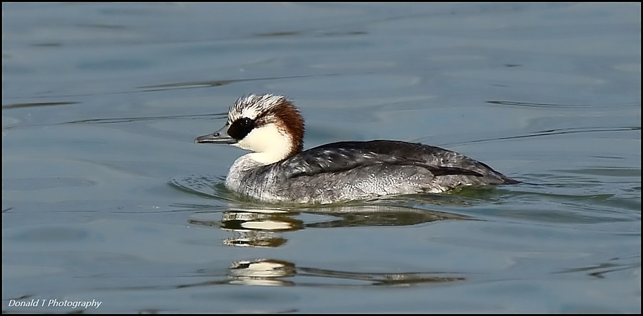 Smew Immature Male moulting to adult