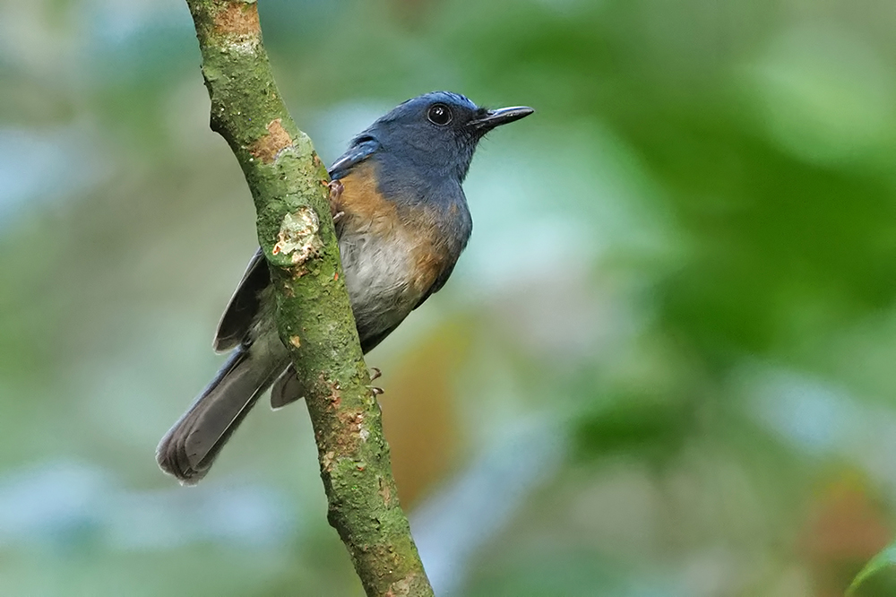 Blue-breasted Blue Flycatcher