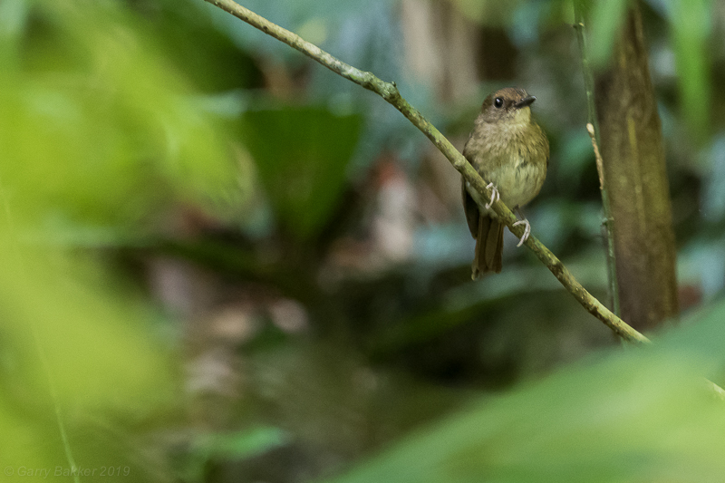 White-throated Jungle Flyctacher