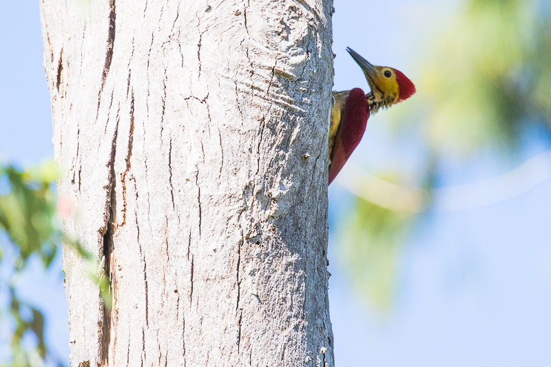 Yellow-faced Flameback