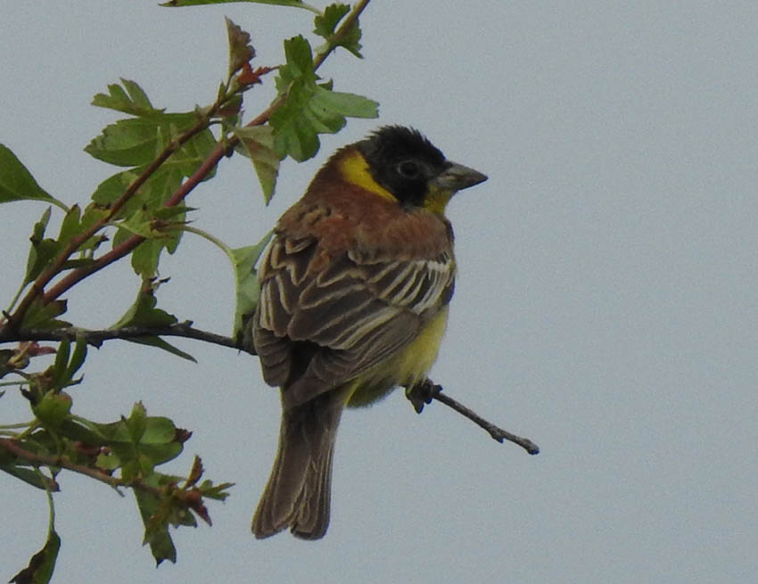 Black-headed Bunting, male