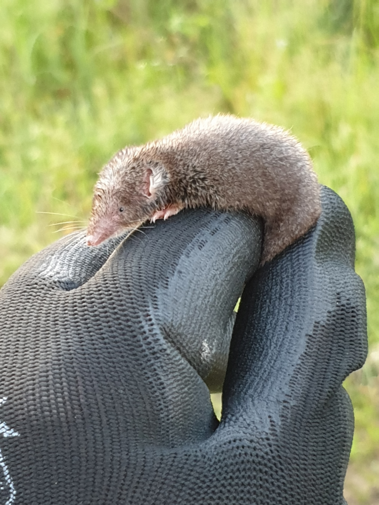 Southern Short Tailed Shrew