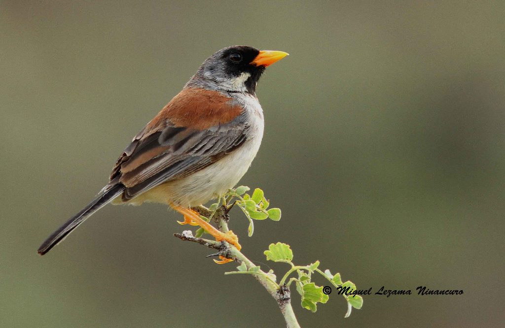 Buff-Bridled Inca-Finch