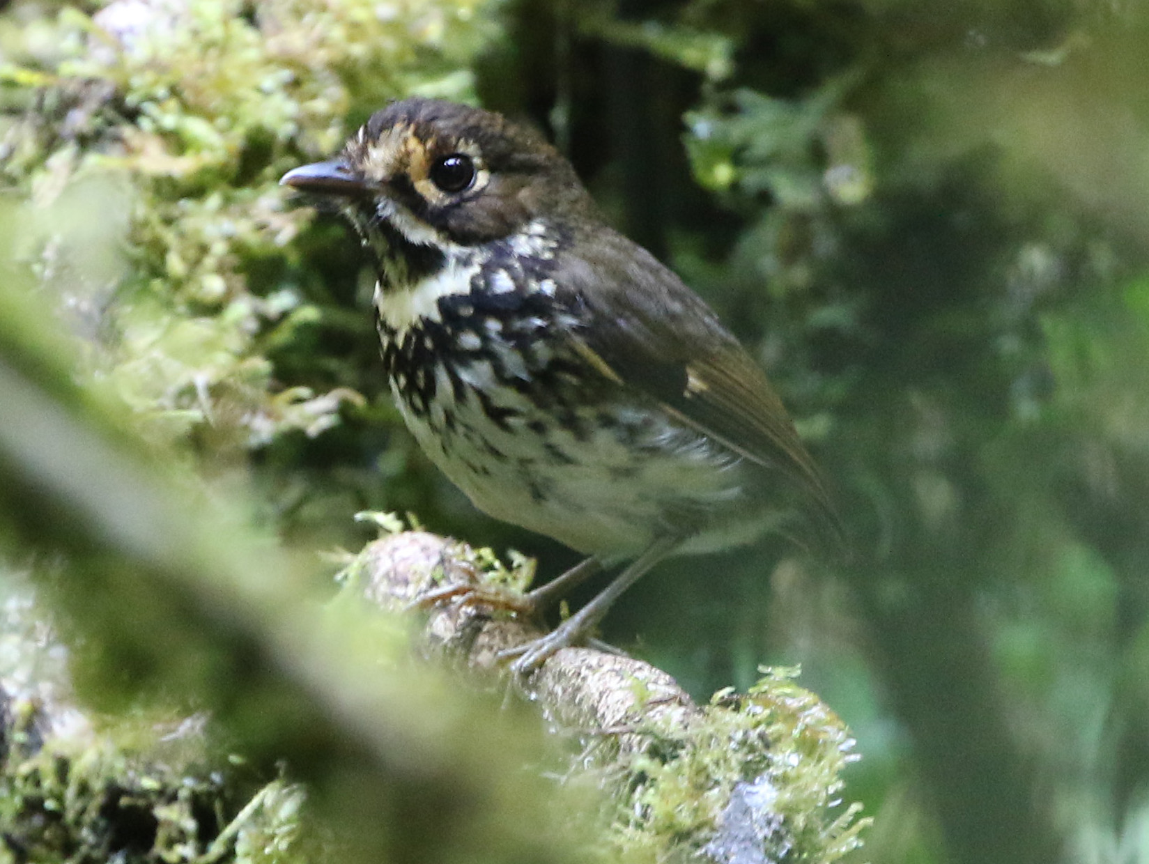 antpitta new species