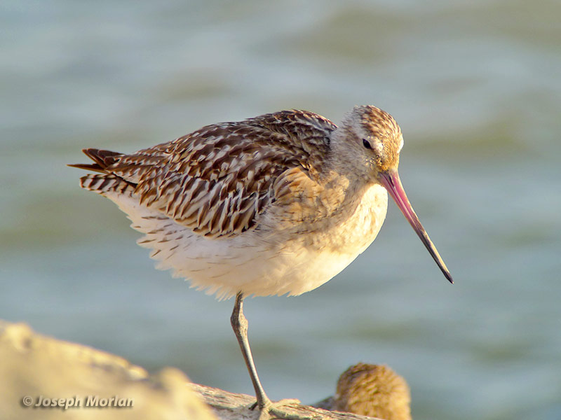 Bar-tailed Godwit (Limosa lapponica baueri)