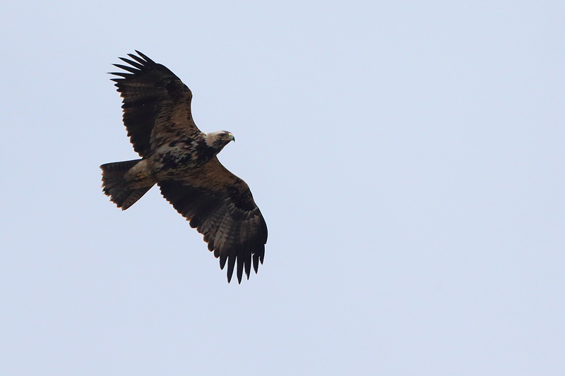 Immature Eastern Imperial Eagle