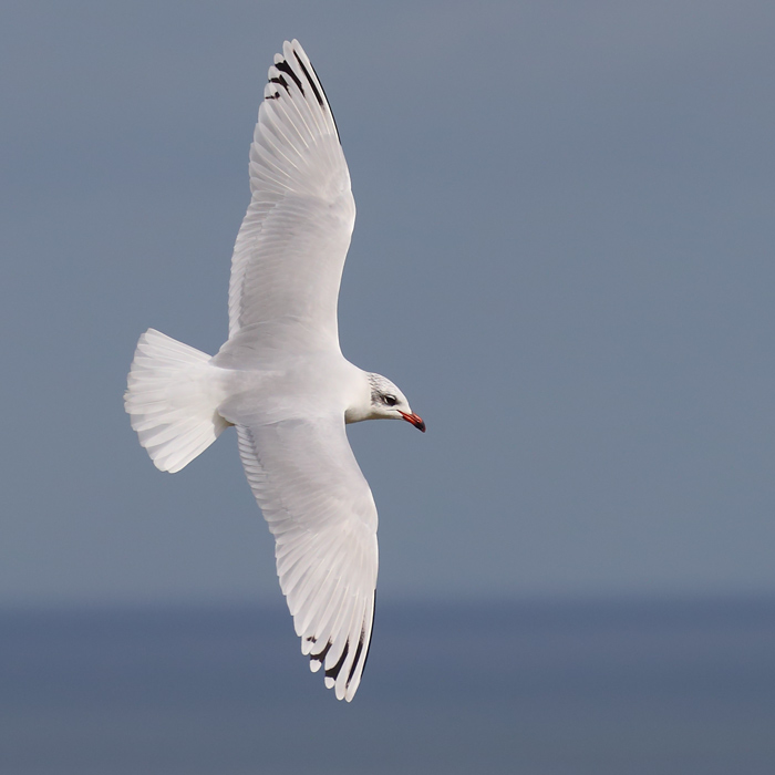 Second-winter Mediterranean Gull