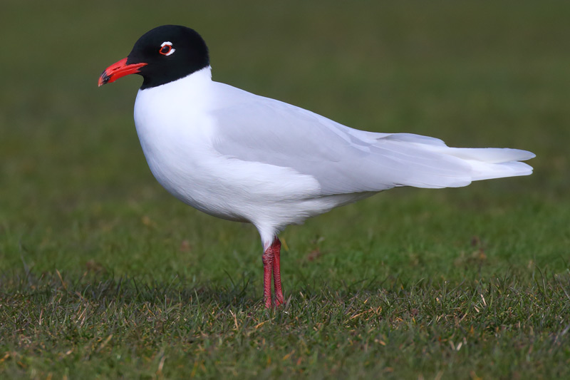 A beautiful adult Mediterranean Gull