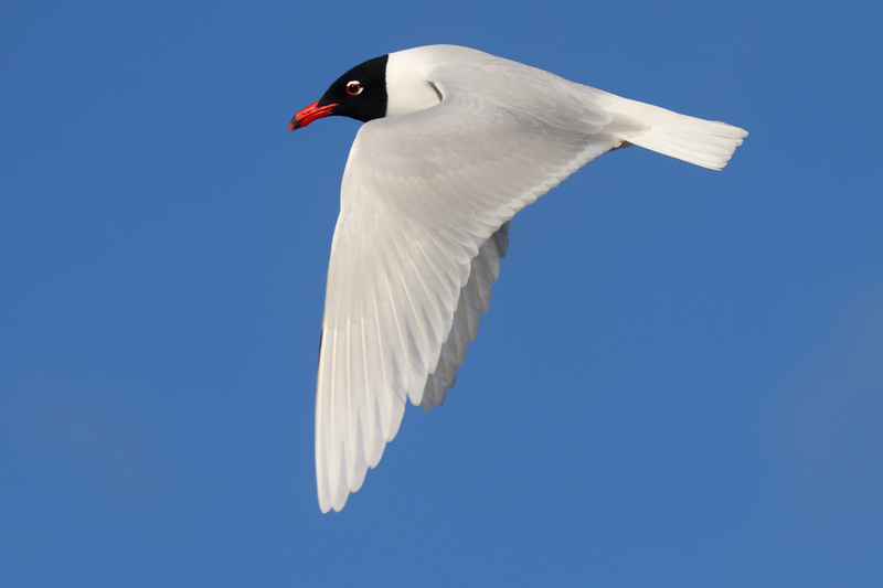 A lovely adult Mediterranean Gull