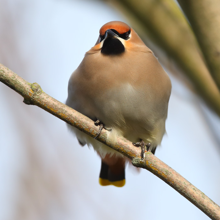 Waxwing having a nod