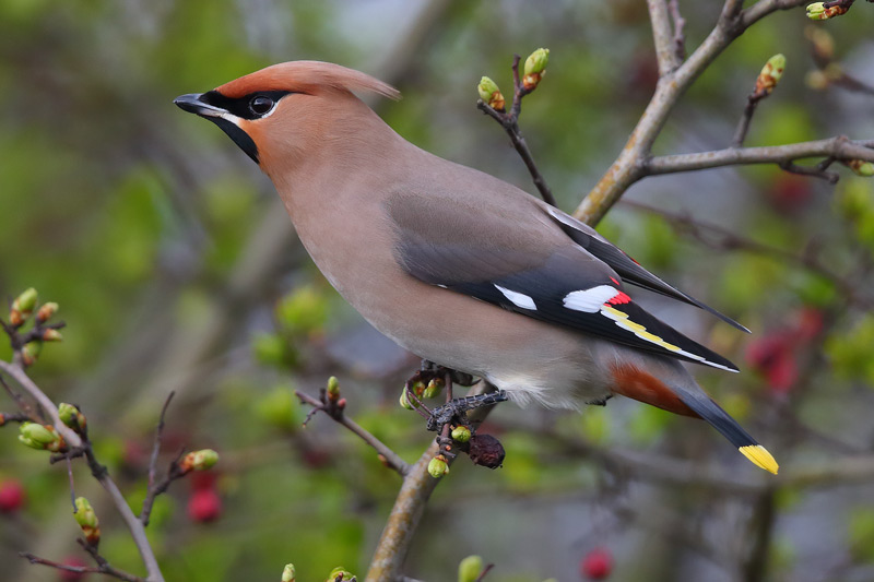 First-winter male Waxwing