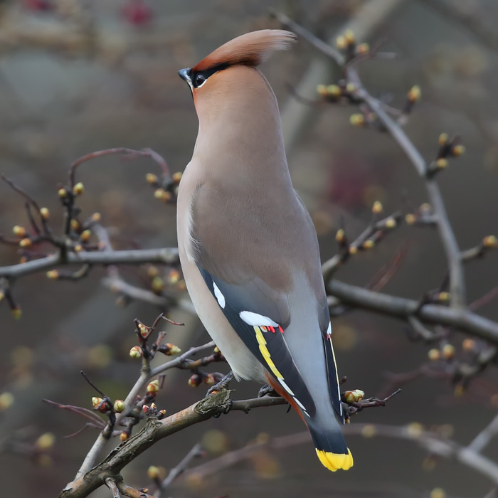 First-winter male Waxwing showing its lovely grey rump