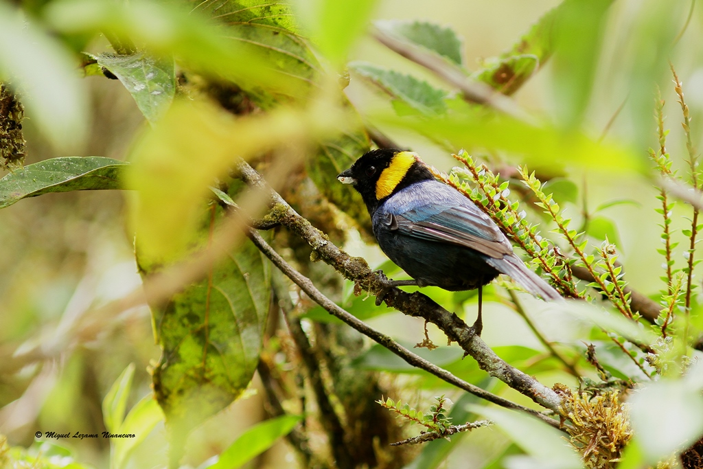Yellow-scarf Tanager