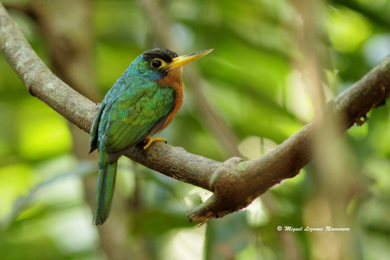 blue-cheeked jacamar