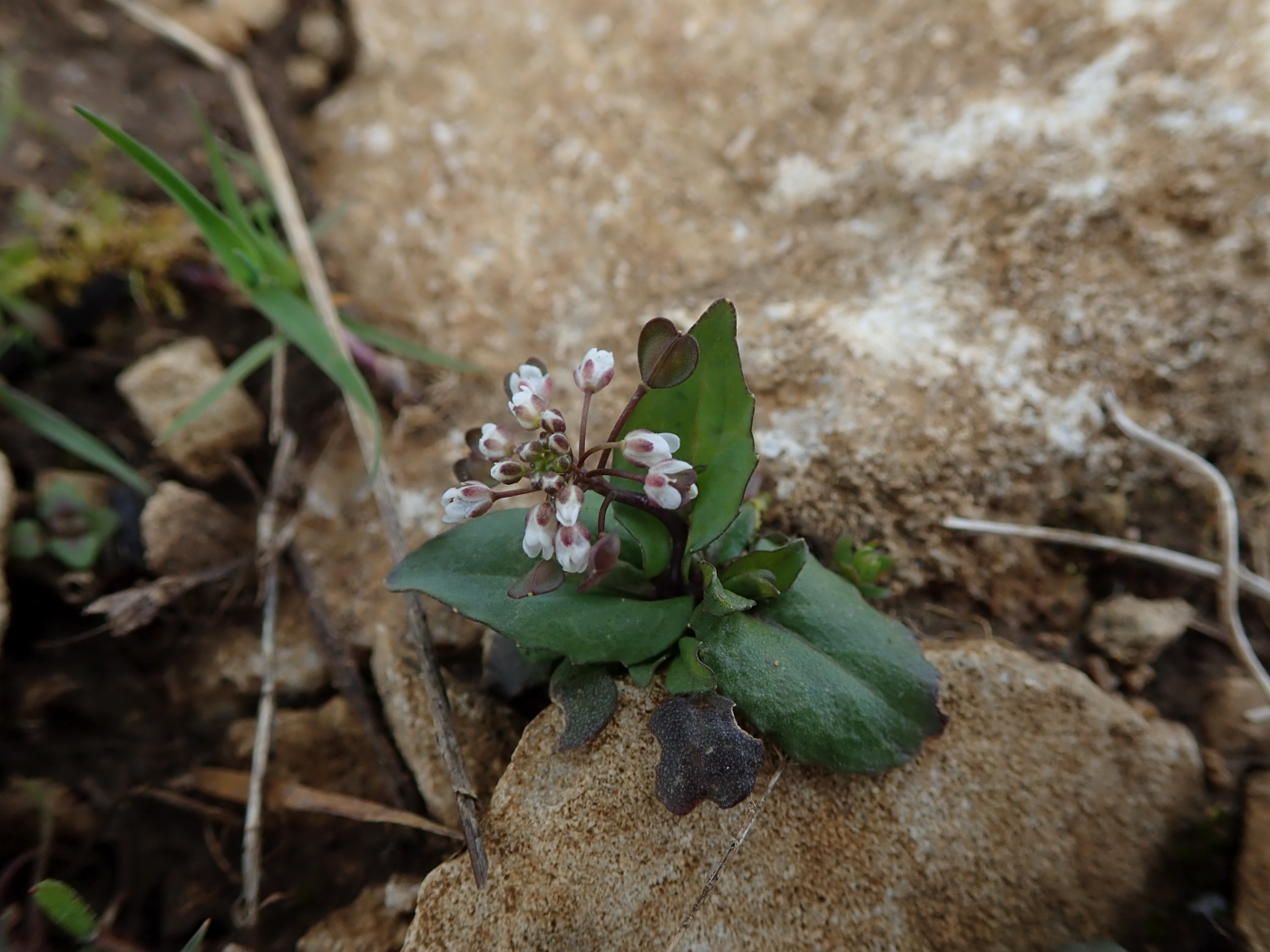 Cotswold Pennycress