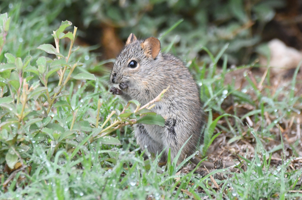 Four Striped Grass Mouse