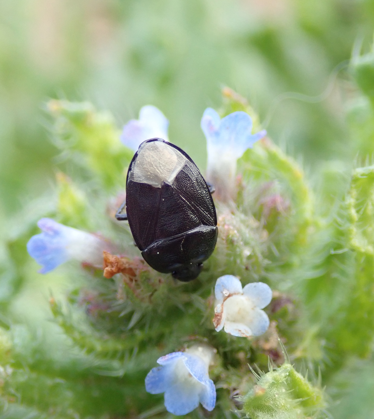 Forget Me Not Shieldbug