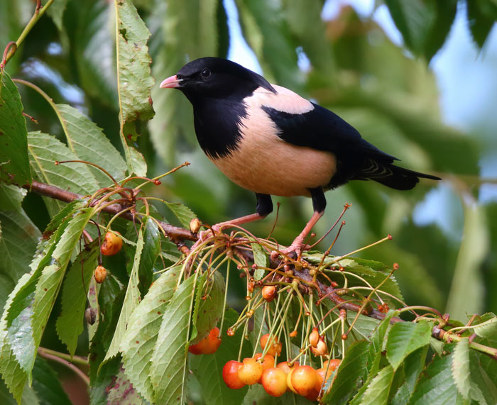 Male Rose-coloured Starling