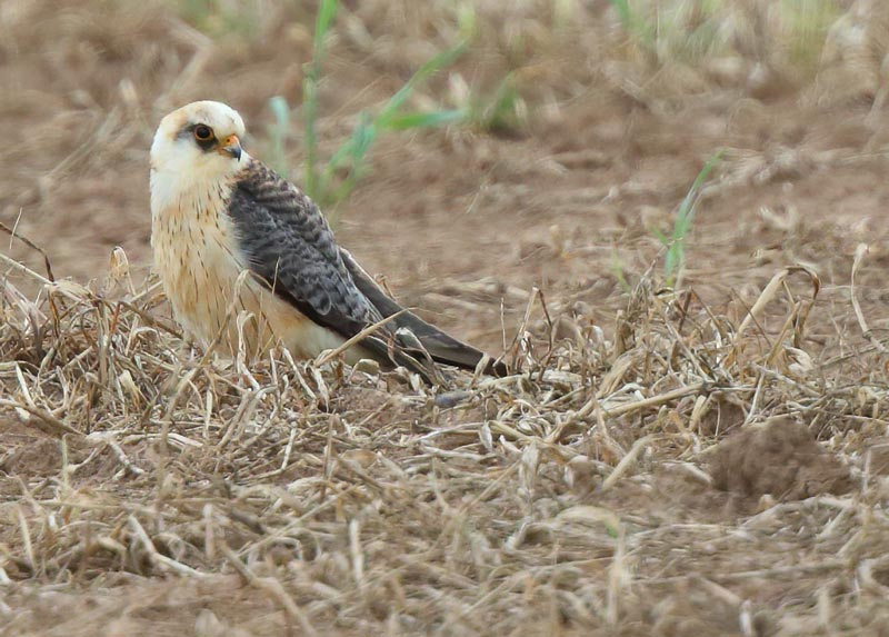 First-summer female Red-footed Falcon