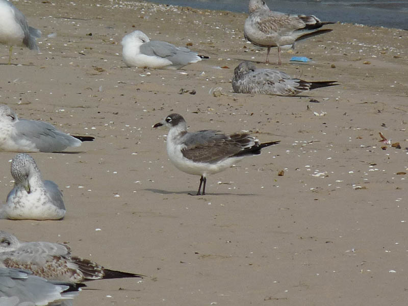 Franklin's Gull (first cycle)