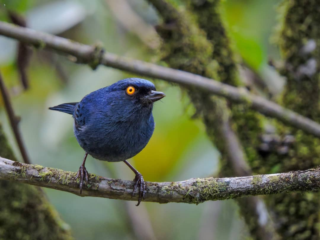 Deep-blue Flowerpiercer