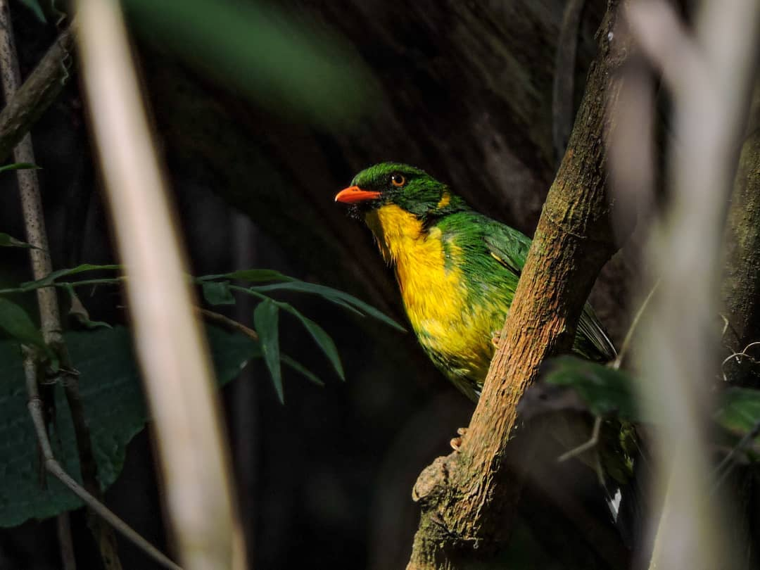 Golden-breasted Fruiteater