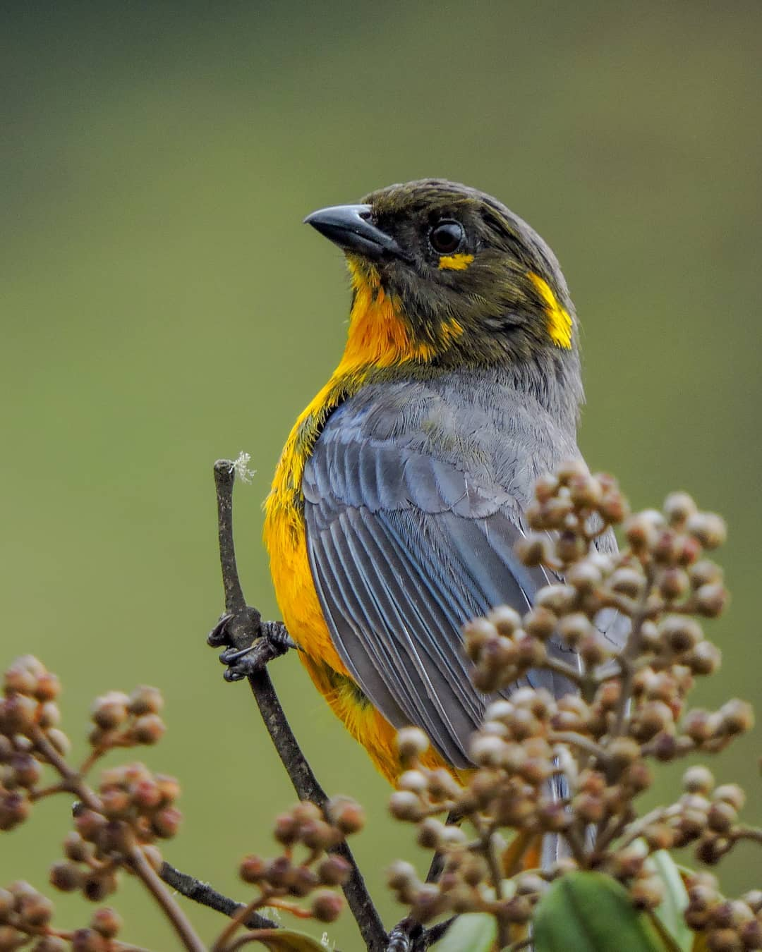 Lacrimose Mountain- Tanager