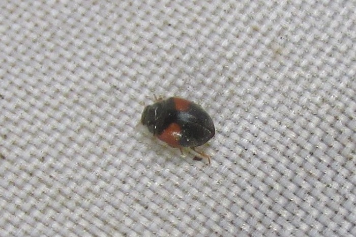 Red-flanked Ladybird, Scymnus interruptus