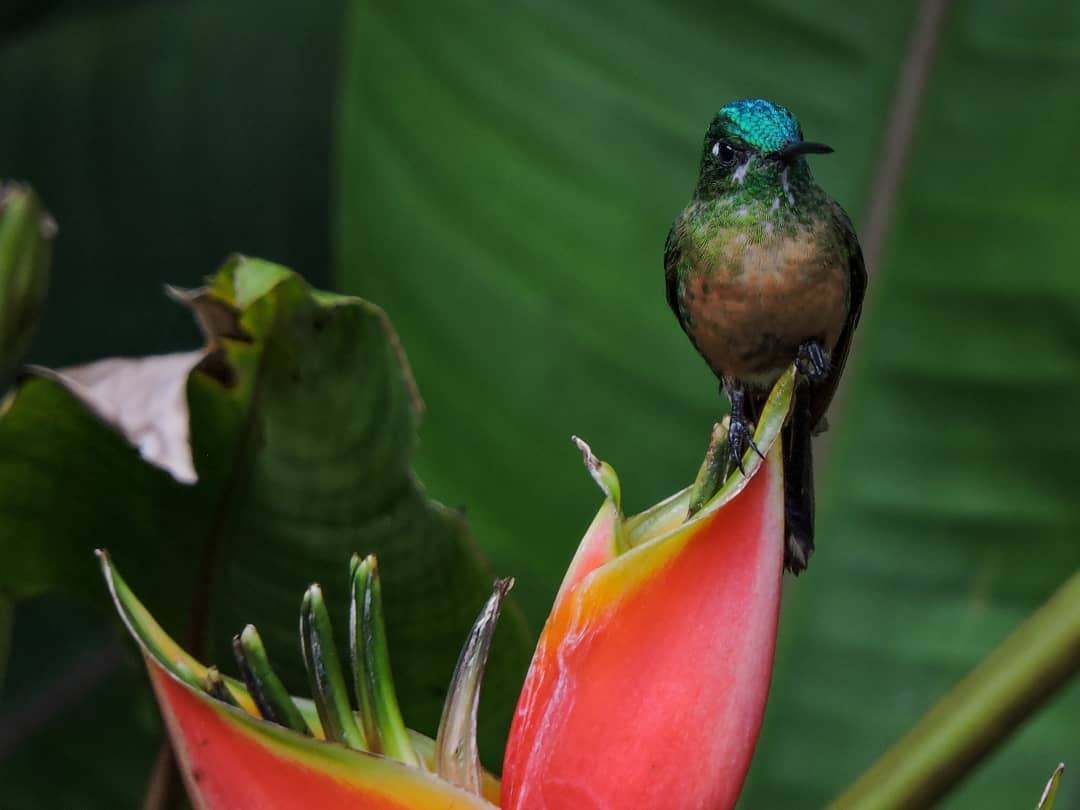 Long-tailed Sylph (Female)