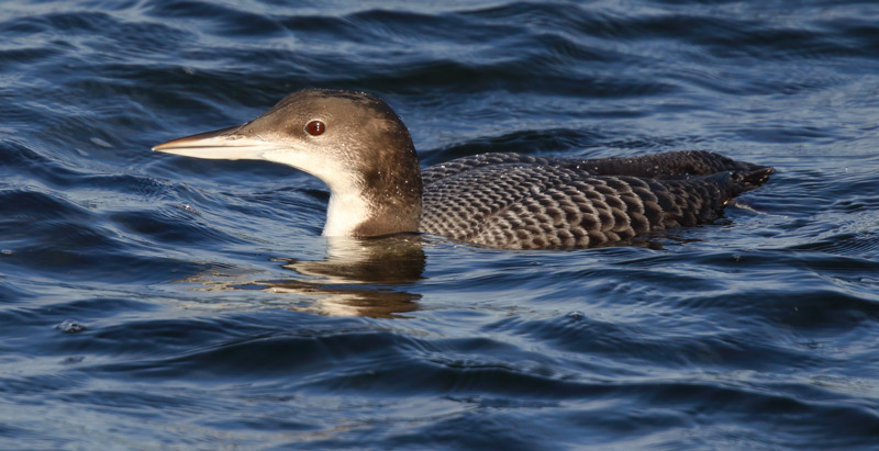 Juvenile Great Northern Diver