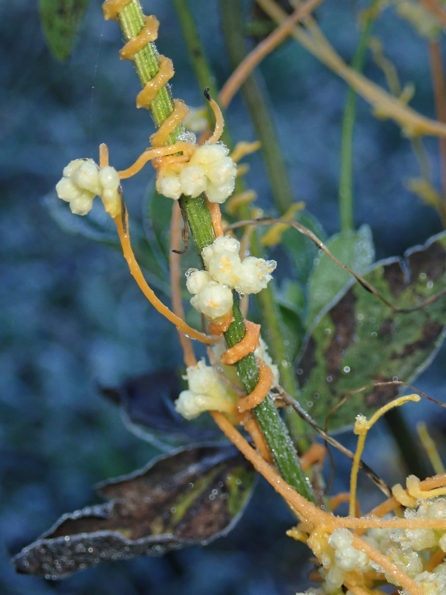 Yellow Dodder